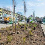 Wyspa ciepła -sadzenie drzewek w Radomiu